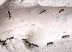 Ameisen Im Haus Infos Zur Effektiven Ameisenbekampfung Hier