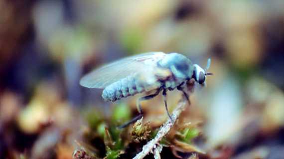 Bartmücken / Gnitzen bekämpfen - Gnitzenstiche Behandlung