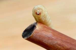 holzwurm im brennholz bekämpfen