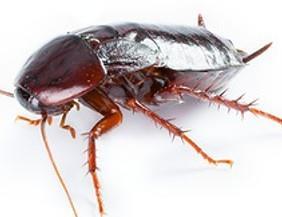 Alles Zur Kakerlakenbekämpfung Kakerlaken Bekämpfen
