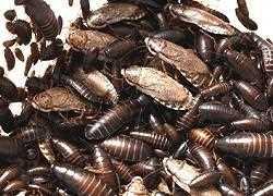 Alles Zur Kakerlakenbekampfung Kakerlaken Bekampfen