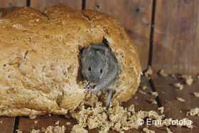 Mausebekampfung Mause Im Haus Vertreiben Und Bekampfen