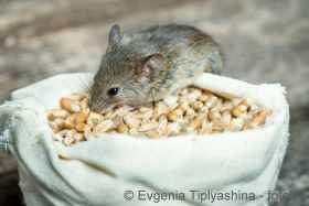 Top Mäusebekämpfung - Mäuse im Haus vertreiben und bekämpfen @PH_32