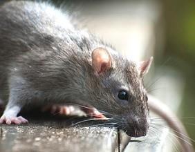 Sie Wollen Ratten Bekampfen Anleitung Zur Rattenbekampfung