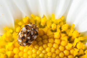 Museumskafer Entdeckt Wollkrautblutenkafer Bekampfen